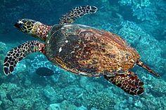 Hawksbill Sea Turtle - critically endangered.
