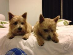 Harry Norwich terrier | Pawshake Waterloo