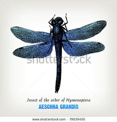 Engraving Vintage Dragonfly From &Quot;The Complete Encyclopedia Of Illustrations&Quot; Containing The Original Illustrations Of The Iconographic Encyclopedia Of Science, Literature And Art, 1851. Vector. - 79039450 : Shutterstock