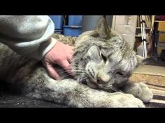 Meet Max The Canadian Lynx - He's a Big Baby - We Love Cats and Kittens