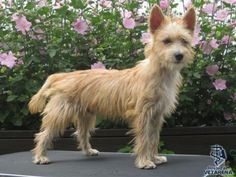 Portuguese Podengo breed Photo