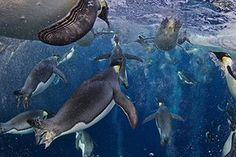 2013 awards winners: World Press Photo 2012 - 1st Prize Nature Stories 'Emperor penguins, Ross Sea' shows a group of emperor penguins swimming in the Ross Sea, Antarctica.