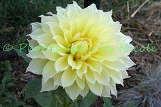 A yellow Dahlia~~