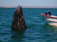Gray Whale, San Ignacio Lagoon, Baja Sur, Mexico