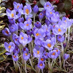 Crocus tommasianus Barrs Purple - 20 flower bulbs buy online order now