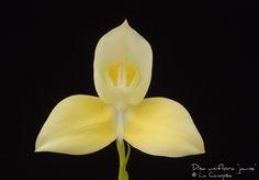 disa kewdior | Disa Suzette James Disa tripetaloides Disa Unidiorosa Disa uniflora ...