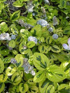 Ceanothus griseus horizontalis 'Diamond Heights,' bright evergreen groundcover
