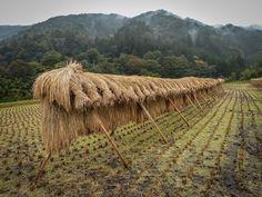 Rice drying along Japan's Nakasendo Walk