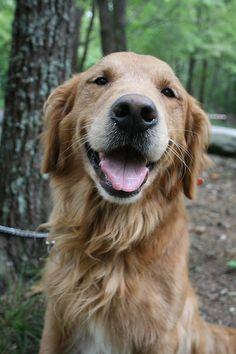 Free Image on Pixabay - Dog, Golden Retriever, Labrador Funny Dog Memes, Funny Dog Videos, Funny Dog Pictures, Funny Dogs, Funny Animals, Cute Animals, Baby Pictures, Cute Puppies, Cute Dogs
