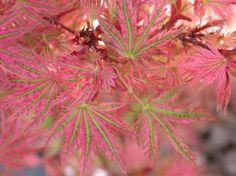 Acer palmatum 'Abigail Rose'