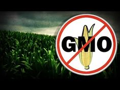 New Study Shows Major Molecular Differences between GMO and Non-GMO Corn - Sustainable Pulse