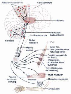 Procesamiento de la información y memoria – Kopher's blog Arteries Anatomy, Brain Anatomy, Human Body Anatomy, Human Anatomy And Physiology, Medical Anatomy, Brain Illusions, Medicine Quotes, Critical Care Nursing, College Hacks