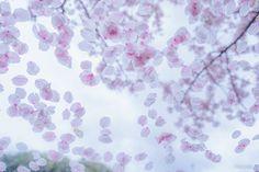 KAGAYA認証済みアカウント @KAGAYA_11949  4月10日  フロントガラスの花びらたちに見とれてなかなか出発できず……。 (昨日、京都にて撮影)