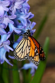 Danaus Plexippus is the scientific name for the Monarch Butterfly. Monarchs can be found on all continents wherever milkweed plants are except the polar regions.