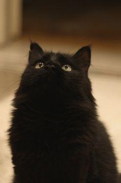 "Beautiful Black Cat ♡  778: "" IMG_0941b (via iBrowny) """