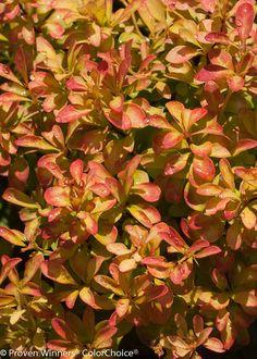 Proven Winners - Sunjoy® Gold Beret - Barberry - Berberis thunbergii yellow plant details, information and resources. Landscape Elements, Landscape Design, Landscaping Plants, Landscaping Ideas, Yellow Plants, Proven Winners, Spring Colors, Beret, Shrubs