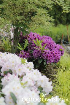 Ogród nie tylko bukszpanowy - część III - strona 598 - Forum ogrodnicze - Ogrodowisko