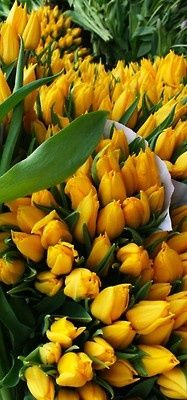 tulips Flowers Garden Love