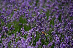 """20. Juni 2015: """"Lavendeliger Schmetterling"""" Mehr Bilder auf: http://www.nachrichten.at/nachrichten/fotogalerien/weihbolds_fotoblog/ (Bild: Weihbold)"""