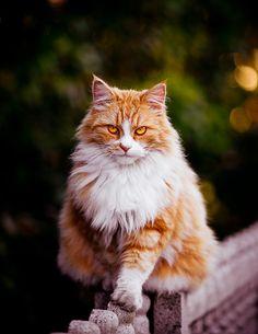Looks like my Barney if he was all orange tabby (RIP) photographer: Helgy Karpenko