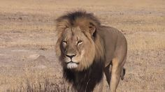 Cecil the lion cost $55,000 in the trophy hunting economy - MASHABLE #Cecil, #Lion, #World