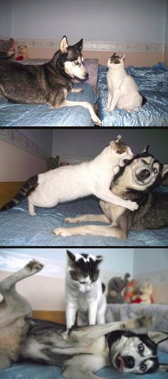 Cat vs. Husky… //I had a cat and a husky, too. This looks about right.