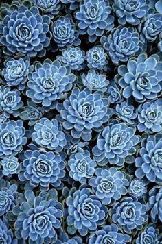 So pretty. Blue succulents