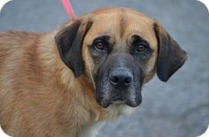 Morgantown, WV - Mastiff/Labrador Retriever Mix. Meet Maisy, a dog for adoption. http://www.adoptapet.com/pet/13860588-morgantown-west-virginia-mastiff-mix