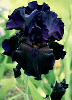 Tall bearded iris (Iris germanica). Old Black Magic cultivar. Pined from Stacy Miller's Flora board.