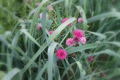 Sommarblommor i samplantering med grönsaker - Purjolök + rosa Blåklint.