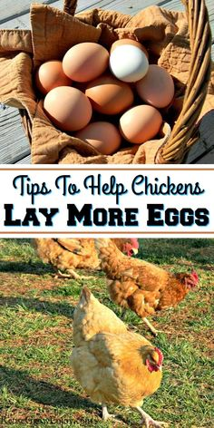 Do you have chickens and having trouble with the egg production slowing down? There are ways that you can help your chickens lay more eggs. I am going to go over a few of the basics to help you do that.