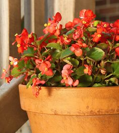 Wax Begonia Popular as an outdoor bedding plant, you can also grow wax begonia indoors where it will bloom all year if it has enough light and good air movement. Simply take cuttings of your plants in the garden for your indoor garden. The cuttings root quickly in water or moist potting soil. Here's a tip: Make sure it has good air circulation, otherwise it may be attacked by fungal diseases. Why We Love It: It's an easy bloomer with waxy foliage and colorful red, white, or