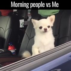 Chihuahua Memes That'll Make You Laugh Harder Than You Should Am I a chihuahua?Am I a chihuahua? Cute Funny Animals, Funny Animal Pictures, Funny Cute, Funny Dogs, Cute Dogs, Super Funny, Funny Animal Gifs, Funny Chihuahua, Funniest Pictures