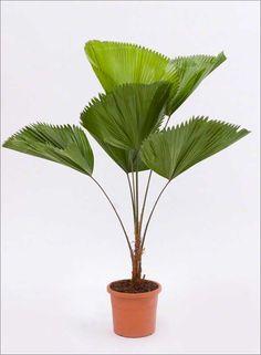 Bijzondere kamerplanten | Licuala | Chicplants