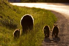 Grizzlies in Banff National Park