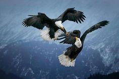 Funny Wildlife, Mid-Air Squabble!!