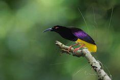 ジュウニセンフウチョウ Twelve-wired Bird-of-paradise (Seleucidis melanoleucus) Beautiful Birds, Paradise, Animals, Crows, Hummingbirds, Amazing Nature, Friends, Google, Unique
