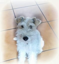 Fox Terriers, Wire Fox Terrier, Smoothies, Cinnamon, Pets, Animals, Smoothie, Canela, Animales