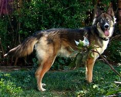 Gerberian Shepsky information and pictures German Shepherd Siberian Husky Hybrid