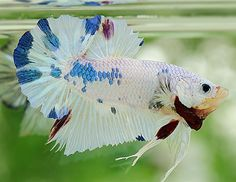 Dalmatian halfmoon plakat 3 Fish, Beta Fish, Beautiful Fish, Animals Beautiful, Fish Tales, Siamese Fighting Fish, Halfmoon Betta, Exotic Fish, Giraffes