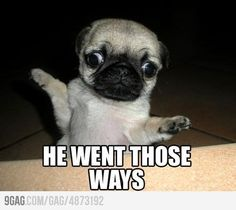 Baby pug says: He went those ways!