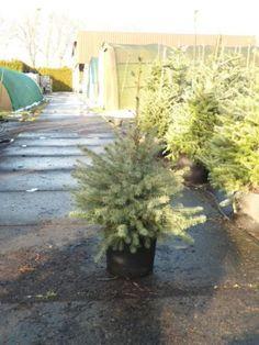 Serbische Fichte / Picea Omorika – Sehr gut als immergrüne Heckenpflanze geeignet, winterhart, pflegeleicht und anspruchslos. Kann bis zu 15m hoch werden, als Hecke natürlich auch kleiner gehalten werden.  Hier in der Größe 60-80cm im C10-Kübel.