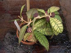 Hoya meredithii / vitellinoides http://www.kerstinshemsida.se/Hoya/Bilder/meridithiifyrahel.jpg