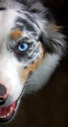 australian shepherd. This dog is prettier than me... Should I be worried?