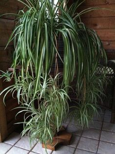 Ornamental houseplants chlorophytum comosum spider plant for Spider plant cats