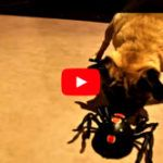 Pug Versus Spider – Cute Video (Video)  The video below has already  2,753,482 ( 2.7 Mio ) views!!   Pab ..  http://www.dogisto.com/pug-versus-spider-cute-video/