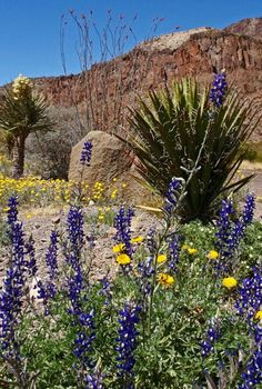 Big Bend National Park is where you can find blue bonnets three feet tall or more!