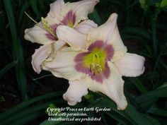 Photo of Daylily (Hemerocallis 'Tripoli') uploaded by vic