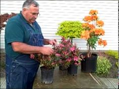 http://mikesbackyardnursery.com   Detailed instructions on how and when to properly prune your azalea bush
