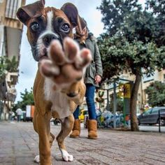 Are you an animal lover? Check out these 30 lovely animal pictures to brighten up your day and give you a well deserved break. Boxer Puppies, Cute Puppies, Cute Dogs, Boxer Breed, Brindle Boxer, Fun Dog, Boxer And Baby, Boxer Love, I Love Dogs